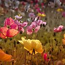 Poppies in the Field by Barb Leopold