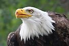Bald Eagle by Jo Nijenhuis
