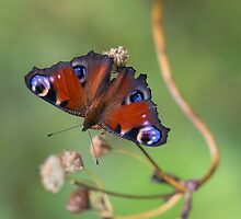 Peacock butterfly on the dry branch by JBlaminsky