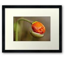Poppies take off their coats in the sun Framed Print