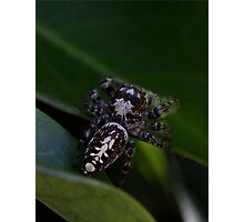 Garden Jumping Spider Photographic Print