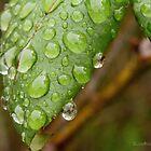 Raindrops by Leonie Morris