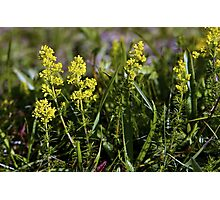 Galium Verum (Lady's Bedstraw), Inishmore, Aran Islands Photographic Print