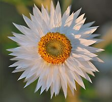 White Paper Daisy by Penny Smith