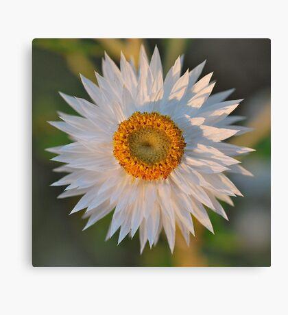White Paper Daisy Canvas Print