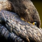 Resting cormorant (phalacrocorax carbo) Trentham Gardens, Staffordshire, UK. by Steve Crompton