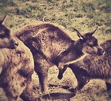 Kangaroos by AprilRichardson