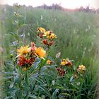 Orange and Yellow Flowers at Sunset by TrendleEllwood