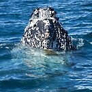 Curious Humpback Whale by Jaxybelle
