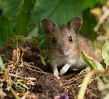 Cute Field Mouse by owlpiliph