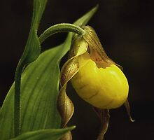 Yellow Lady Slipper by cclaude
