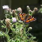 Small Tortoiseshell Butterfly On Thistle by Francis Drake