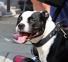 Staffordshire Bull Terrier by GreyFeatherPhot