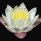 White Water Lily by Sharon Woerner