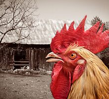 Rooster Looks At Barn by Phil Perkins