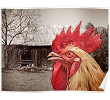 Rooster Looks At Barn Poster