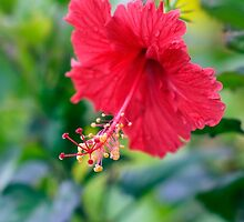 Rose Red Hibiscus Beauty by Kerryn Madsen-Pietsch