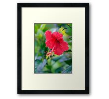 Rose Red Hibiscus Beauty Framed Print