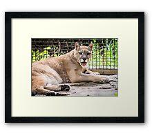 Puma Sticking Out Tongue Framed Print
