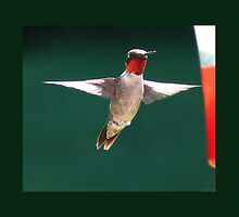 Male Hummingbird #1 by virginian