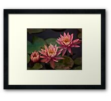 Trio of pink lilies Framed Print