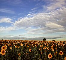 Early morning sunflowers by AWLPIX