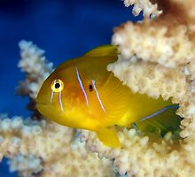 Citron goby by AWLPIX