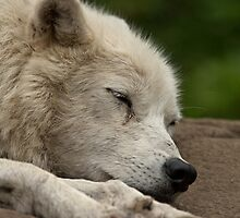 Sleeping Arctic Wolf by WolvesOnly