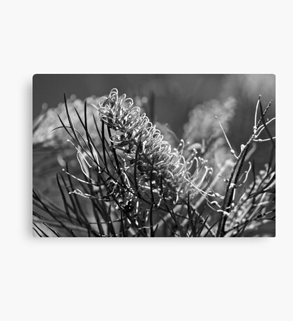 Grevilleas in black and white  Canvas Print
