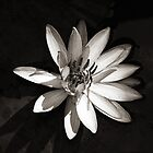 Water Lily  by Ethna Gillespie