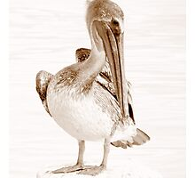 Young Pelican Photographic Print