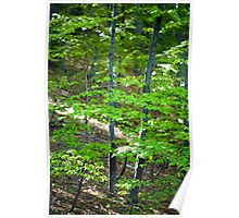 Young beech forest Poster