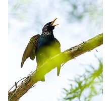 Common Starling on a tree branch Photographic Print