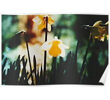 Daffodils 1 Poster