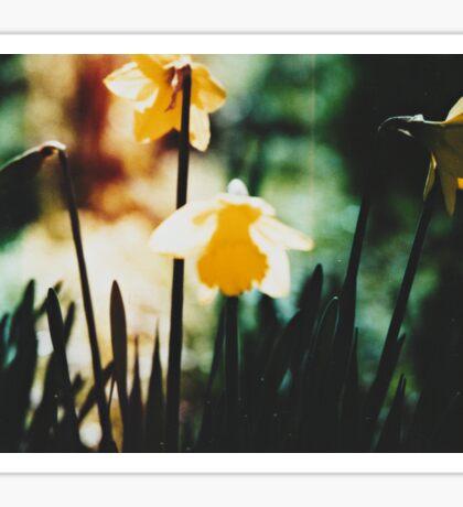 Daffodils 1 Sticker
