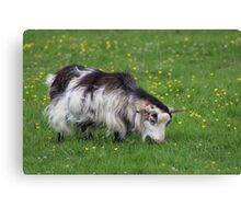 Goat Grazing Canvas Print
