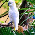 Cockatoo by RickDavis