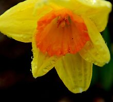 daffodil by paul gavin
