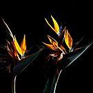 Buddies (Bird of Paradise)7502 by João Castro