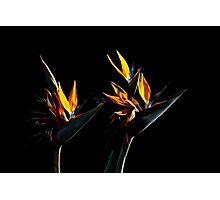 Buddies (Bird of Paradise)7502 Photographic Print