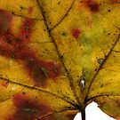Maple Leaf in Fall Close Up by Kendra Kantor