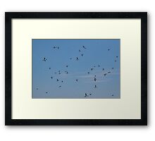 A Multitude of Murres in Flight Near Bay Bulls, NL, Canada Framed Print