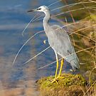 White Faced Heron by mncphotography