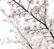 Blossoms on cherry tree branches closeup background art photo print by ArtNudePhotos