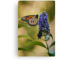 Monarch on butterfly bush Canvas Print