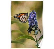 Monarch on butterfly bush Poster