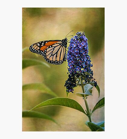 Monarch on butterfly bush Photographic Print