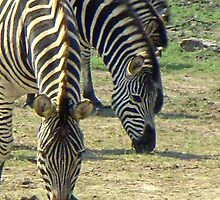 Zebras at lunch by Margaret  Hyde