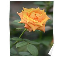 Yellow Rose With Tint of Peach Poster