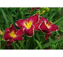 Rich red daylilies Photographic Print